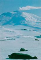Looking up to Erebus from the Ross Ice Shelf. © 1983 Howard North